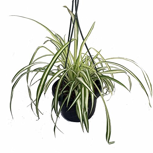 Ocean Spider Plant - Easy to Grow - Cleans The Air - New - 6' Hanging Basket