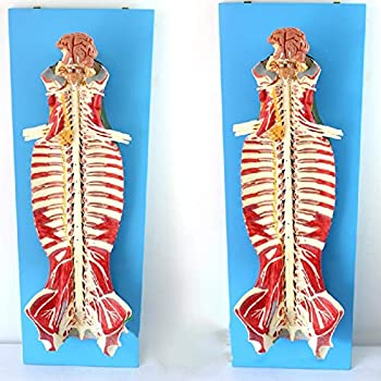 XIEJI Medical Anatomical Spine Model with Nerves and Brain