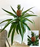 BALDUR-Garten Ananas Corona, 1 Pflanze Ananaspflanze mit Frucht Zimmerpflanze Zimmerpflanze