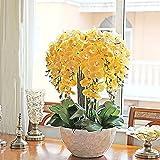100 semillas de orquídea Phalaenopsis para plantas de bonsái, plantas de jardín al aire libre (amarillo)