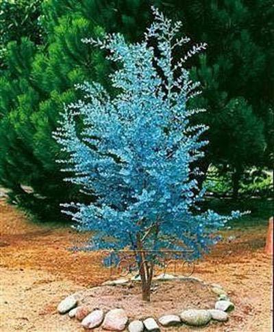 SONIRY 50pcs / Bag seltene Regenbogen-Eukalyptus Riesen Auffällige Außen Tropischer Baum für Garten Bepflanzung Baby und Liebhaber Außen Bonsai Geschenk: 15