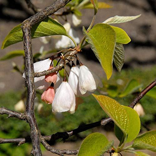 Berg Schneeglöckchenbaum 60-80cm - Halesia monticola