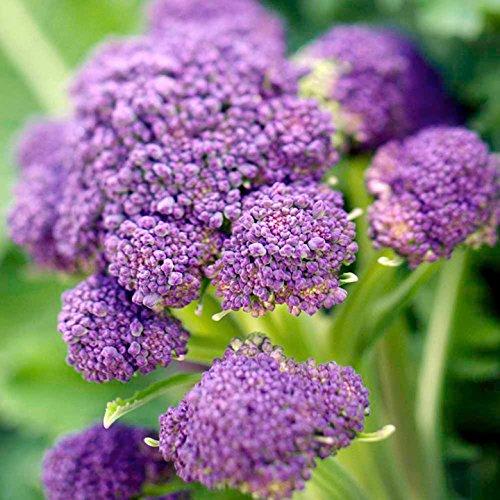 Purple Sprouting Broccoli Seeds, 500+ Heirloom Seeds Per Packet, (Isla's Garden...