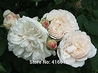 Promotion!!! 100 Winchester Cathedral Rose Seeds David Austin Shrub Rose Flower Bonsai Garden Plants Seeds