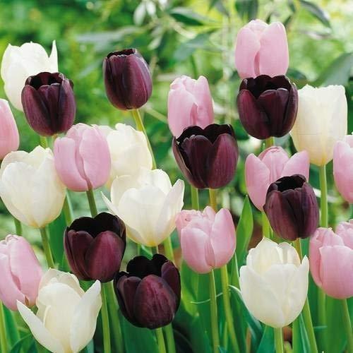 Tomasa 100Pcs Bunte Tulpen Samen, entzückende Blumen wohlriechende Samen wohlriechende Blüte Tulpensamen Blumensamen Duftende Samen Blooms Samen (Rosa weiß)