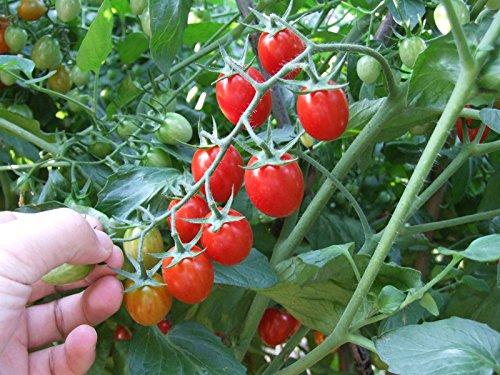 semences graines d'arbres tomate tomate cerise tomate plants 100 pcs / paquet