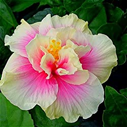 Hibiscus Is Good For The Yard You And Your Pets Crazy Plants For