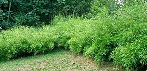 Fargesia Rufa - Chinesischer Bambus - verschiedene Größen (50-70cm - 2ltr. - 4-6 Triebe)