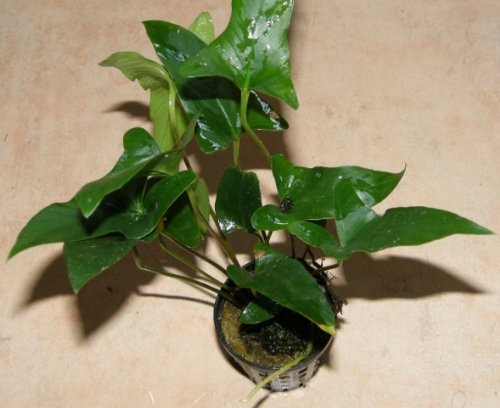 Mühlan Wasserpflanzen 1 Topf Anubia gracilis, zierliches Speerblatt