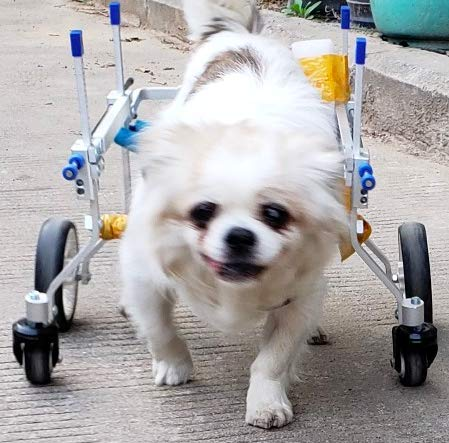 Quaz Four Wheels Adjustable Dog Wheelchair, cart,7 Sizes for Full Body Support, Fore-Leg Rehabilitation, Free Belly Band for Spine Protection, Free Leash (1.FF-XXS)