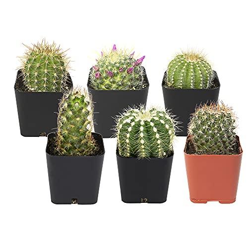 Cactus Plants (Mix of 6), Mammillaria Cactus Plants Live in Cactus Soil, Opuntia Cactus Live Plants,...