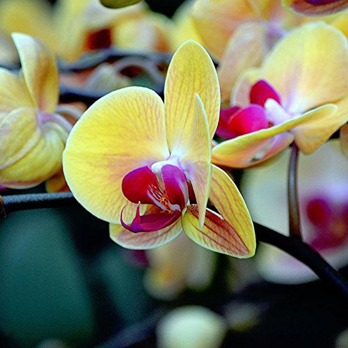 XdiseD9Xsmao 20 Stks Phalaenopsis Vlinder Orchidee Zaden Plant Bloem Zaden Thuis Tuin Erf Balkon Bonsai Decoratie Geel