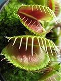 Seedeo® Anzuchtset Venus Fliegenfalle (Dionaea muscipula)