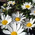 Outsidepride Chrysanthemum - Creeping Daisy