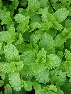 Seedeo Bergminze (Calamintha nepeta) 100 Samen