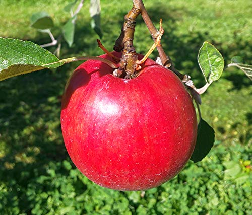 農家直送!北海道産 紅玉りんご5kg(20玉、23玉)化学肥料不使用で栽培しています