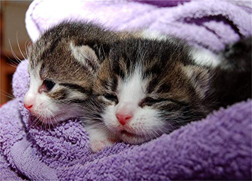 Puzzel 35 Stukjes Unieke Cadeaus Voor Diy Educatief Speelgoed, Zwartbruine En Witte Kittens In Paarse Handdoek 64147 (15 x 10 cm)