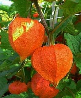 Chinese Lantern PHYSALIS Orange_RED Lantern EZ Grower Dried ARRAINGEMEN (Heirloom Garden Store)