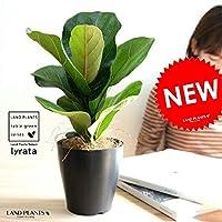 LAND PLANTS 観葉植物 カシワバゴム 黒色 プラスチック鉢 4号 フィカス リラータ 鉢植え 丸