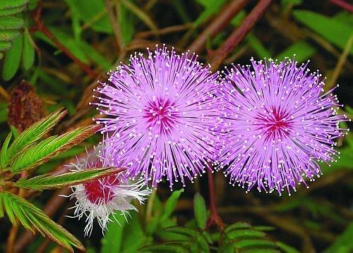 Mimosa pudica - Sensitive pudique - 20 graines
