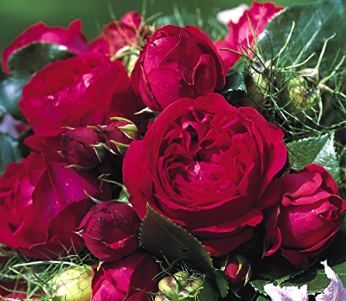 'Red Eden Rose' -R-, Strauchrose im 4 L Container