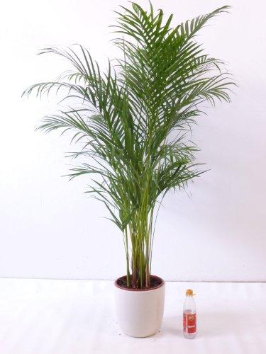 "Goldfruchtpalme 140 cm Chrysalidocarpus lutescens - \""Areca Palme\"" / Zimmerpalme"