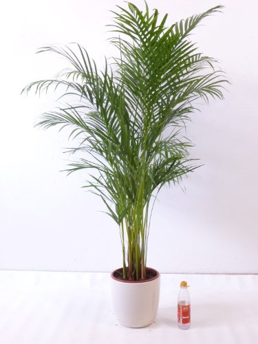 Goldfruchtpalme 140 cm Chrysalidocarpus lutescens -