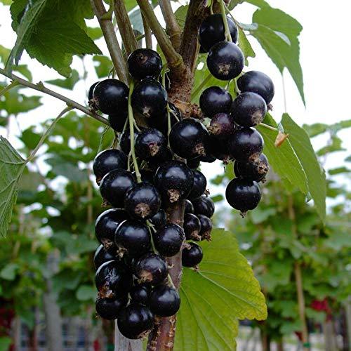Müllers Grüner Garten Shop Ometa robuste schwarze Johannisbeere Hochstamm ca. 90 cm Stamm 130-150 Gesamtgröße im 5 Liter Topf