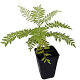 Jacaranda Mimosifolia Tree Live Plant