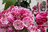 Kalmia latifolia Kaleidoscope - Lorbeerrose - Berglorbeer Kaleidoscope -