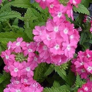 Best rose verbena seeds Reviews
