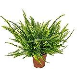 Lockiger Farn   Nephrolepis - Luftreinigende Zimmerpflanze im Aufzuchttopf ⌀12 cm - 40 cm