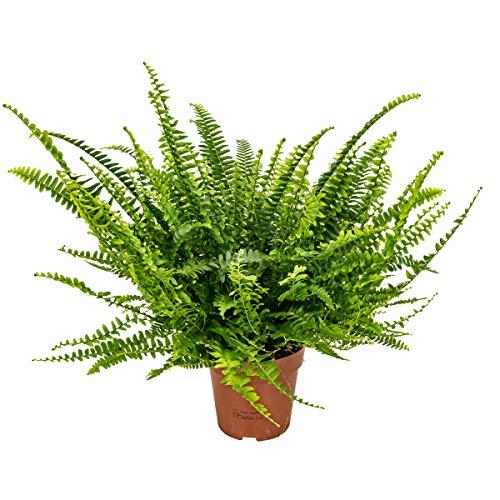 Lockiger Farn | Nephrolepis - Luftreinigende Zimmerpflanze im Aufzuchttopf ⌀12 cm - ↕40 cm