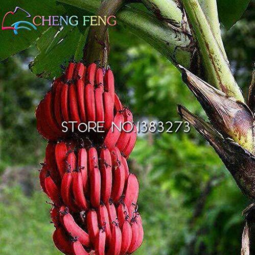 Seeds:100pcs Golden Mini Banana Plants Fruit Plants Rare Exotic Bonsai Banana Potted Gift Plant Decoration Home & Garden White