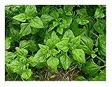 David's Garden Seeds Spinach New Zealand SL6586 (Green) 100 Non-GMO, Heirloom Seeds