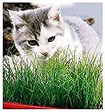 Semillas de hierba para gatos - raras - las mejores semillas de plantas - idea de regalo original - flores - frutas - verduras hierbas gato - 100 semillas aproximadamente - excelente calidad