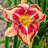 Bulbos de lirio de día,Hogar Jardín Bombillas fuertes Plantas de decoración del hogar Patio-5Bulbos