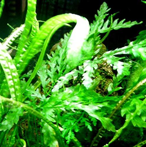 Mühlan – über 120 Aquarium-Pflanzen in 16 Bunde – großes farbiges Sortiment für 200 Liter Aquarium - 6