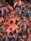 Boston Ivy Plant - Parthenocissus ticuspidata Veitchii - 2.5' Pot