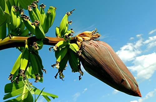 Risala 10 x MUSA SIKKIMENSIS Red Tiger Banana Pflanze Tropische Samen sehr frosthart