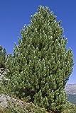 Zirbelkiefer Pinus cembra 15 Samen