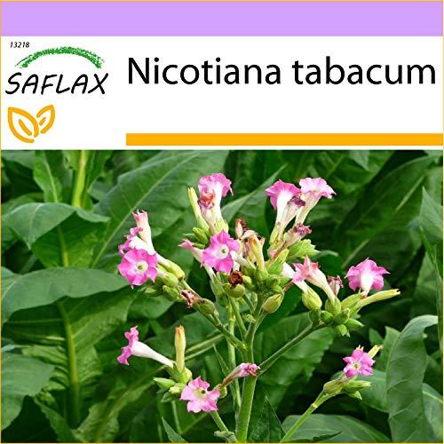 SAFLAX - Tabaco de Virginia - 250 semillas - Nicotiana tabacum