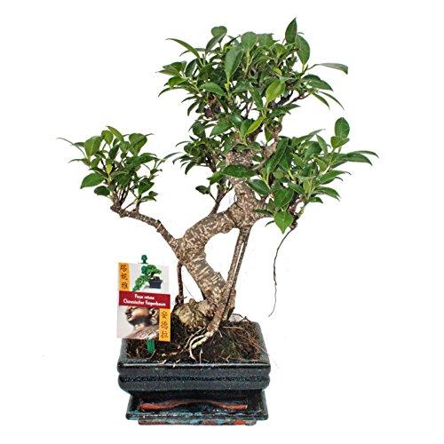 exotenherz - Bonsai Chinesischer Feigenbaum - Ficus retusa - ca. 6 Jahre
