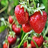 Sparkle June Bearing 10 Live Strawberry Plants, Non GMO,