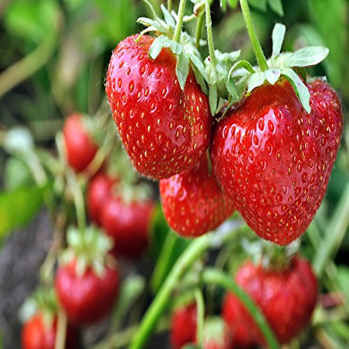 Quinalt Everbearing Strawberry 25 Bare Root Plants...