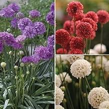 Cutdek Sea Thrift Joystick Mix Flower Seeds (Armeria Maritima) 15+Seeds