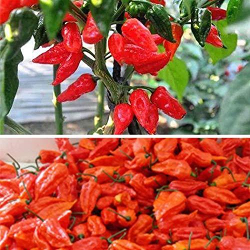 Bravet Vegetables Seeds - 100pcs Indian Ghost Pepper Seeds Home Gardening Rare Red Chili Vegetable Seeds