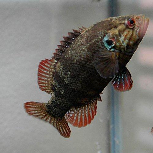 【生体】オヤニラミ 1匹 LLサイズ 約10cm~13cm 淡水魚 肉食