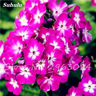 100 Pcs Nerium Oleander Flower Look Seed Tout comme les plantes Rose Fleur Bonsai jardin Arbre Quatre Saisons fleurs vivaces Easy Grow 4