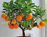 ! LOSS PROMOTION SALE! 20 pcs bonsai orange seeds NO-GMO mini bonsai tree Balcony Patio Potted Fruit Trees Kumquat Seeds Tangerine Citrus